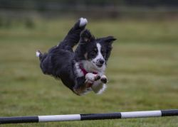 Online agility training course showing example of training within the Foundations for Canine Conditioning course