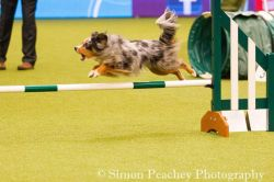 Online agility training course showing example of training within the Jumping skills 1 course