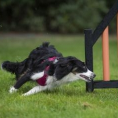 Online agility training course showing example of training within the Foundations for Canine Conditioning with Ann Harmes CCFT course