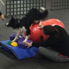 Online agility training course showing example of training within the  Bespoke Canine  Fitness Coaching - Private Tuition course