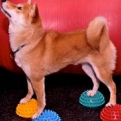 Online agility training course showing example of training within the Paw Pods Tutorial  course